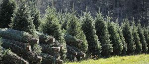 Are Christmas Trees Pagan?
